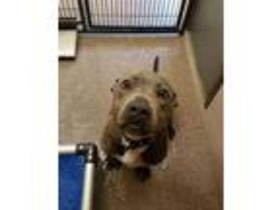 Adopt Drogo a Gray/Blue/Silver/Salt & Pepper American Pit Bull Terrier / Mixed