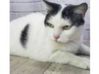 Adopt Lilly Pad a White Domestic Shorthair / Domestic Shorthair / Mixed cat in