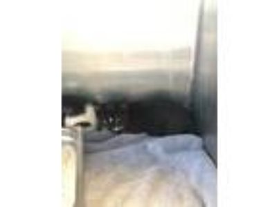 Adopt Toe a All Black Domestic Shorthair / Domestic Shorthair / Mixed cat in