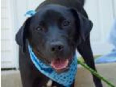 Adopt Ace a Labrador Retriever