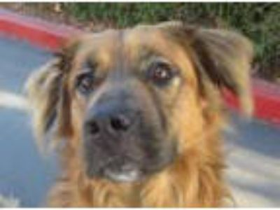 Adopt Dino a Golden Retriever, German Shepherd Dog