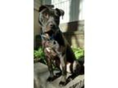 Adopt Jack-O a Boxer, Mixed Breed