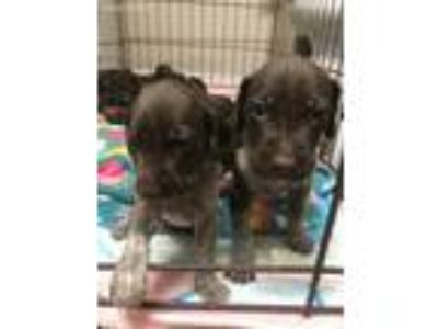 Puppy - Animals and Pets for Adoption Classifieds in Brooksville