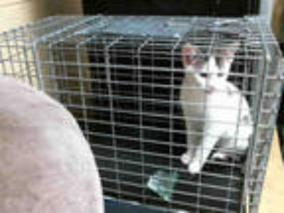 Adopt POOKA a White (Mostly) Domestic Shorthair / Mixed (short coat) cat in