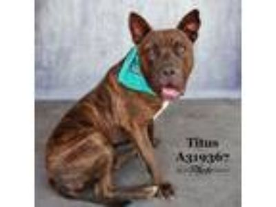 Adopt TITUS a Pit Bull Terrier, Mixed Breed