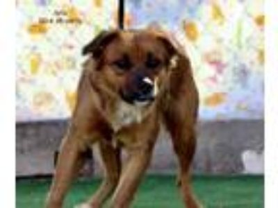 Adopt Aria a Brown/Chocolate - with Black Shepherd (Unknown Type) / Chow Chow /