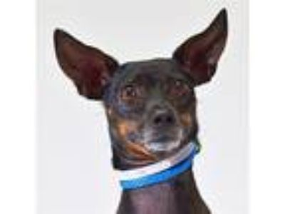 Adopt Astro a Miniature Pinscher / Mixed dog in Houston, TX (25584385)
