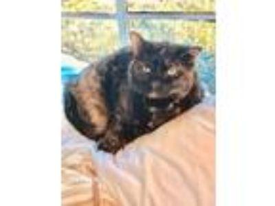 Adopt Polly - pretty polydactyl kitty a Tortoiseshell, Domestic Short Hair