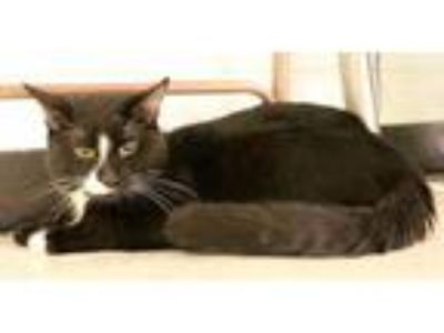 Adopt Richie a Black & White or Tuxedo Domestic Shorthair / Mixed cat in Salem