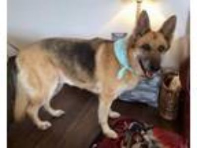 Adopt Tosha a German Shepherd Dog
