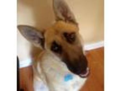 Adopt MIKA a Black - with Tan, Yellow or Fawn German Shepherd Dog / Mixed dog in