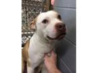 Adopt BamBam a American Staffordshire Terrier