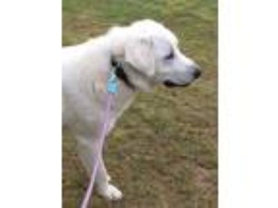 Adopt Cooper a Akbash, Great Pyrenees