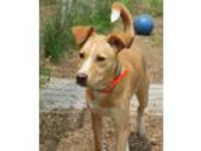 Adopt Rescue Felix a Tan/Yellow/Fawn - with White Rat Terrier / Feist / Mixed