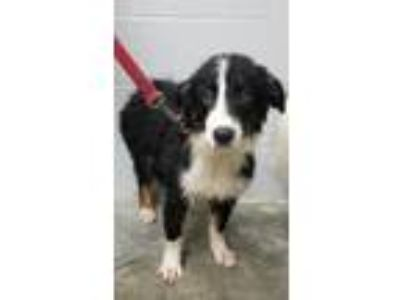 Adopt Bolt a Border Collie
