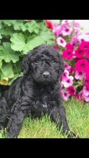 Goldendoodle PUPPY FOR SALE ADN-79329 - 2nd generation Goldendoodles  WILL SHED LESS