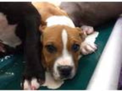 Adopt *GLORY a Tan/Yellow/Fawn - with White American Pit Bull Terrier / Mixed