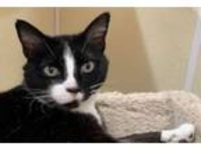 Adopt SHELLY a Domestic Short Hair