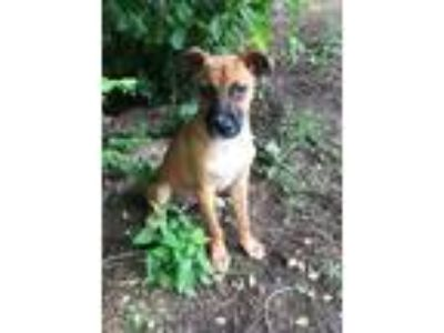 Adopt Anabelle Boston a Brown/Chocolate - with Black Mountain Cur / Mixed dog in