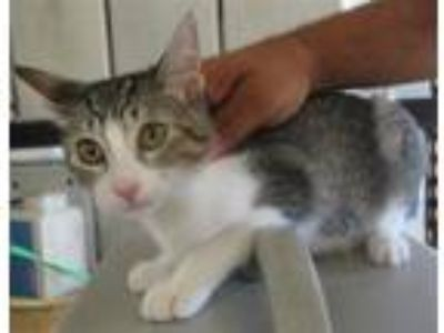 Adopt Grace a Domestic Shorthair / Mixed (short coat) cat in LAFAYETTE