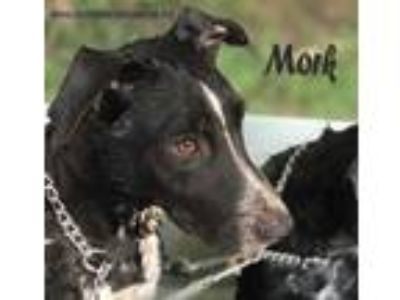 Adopt Mork a Black - with White Border Collie / Labrador Retriever dog in