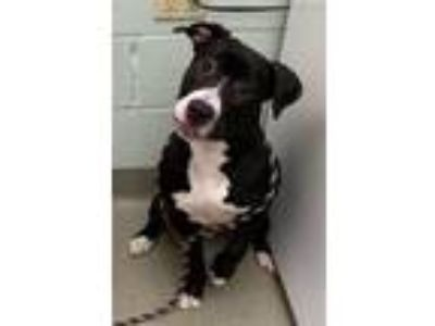 Adopt Madogga a Labrador Retriever / American Pit Bull Terrier / Mixed dog in