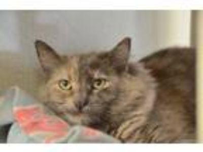 Adopt Ruby a Gray or Blue Domestic Longhair / Domestic Shorthair / Mixed cat in