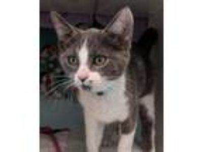 Adopt Tucker a Gray or Blue (Mostly) Domestic Shorthair / Mixed (short coat) cat