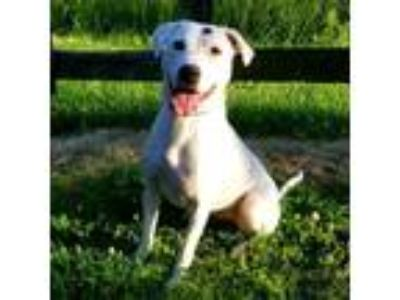 Adopt Orla a White - with Tan, Yellow or Fawn Dalmatian dog in Madisonville