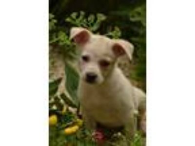 Adopt JILL T DALTON -A COMMON DOG PUP a Labrador Retriever, Mixed Breed