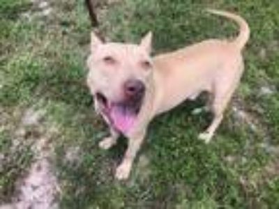 Adopt COOPER a Tan/Yellow/Fawn - with White Shar Pei / Mixed dog in West Palm