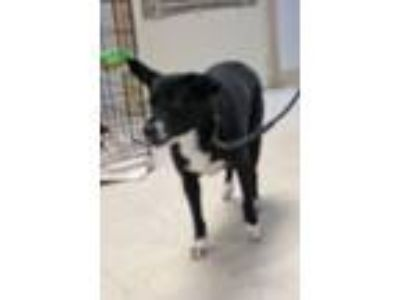 Adopt Rosie a Border Collie, Cattle Dog