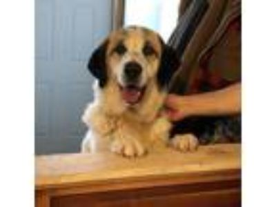 Adopt Colton a White - with Brown or Chocolate Great Pyrenees / Mixed dog in