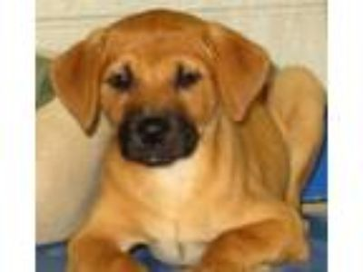 Adopt Heart a Brown/Chocolate Black Mouth Cur / Mixed dog in Carrollton