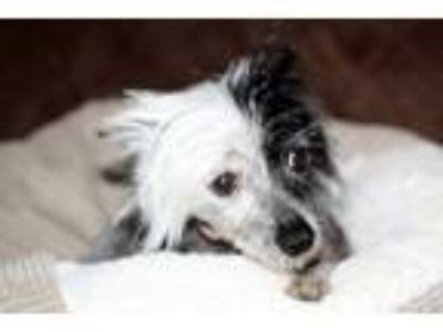 Adopt Zorro a Chinese Crested Dog