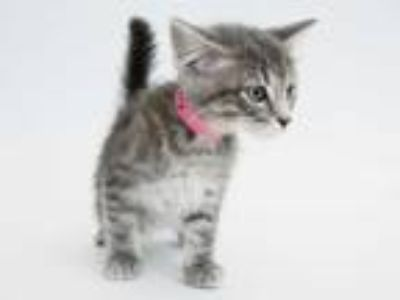 Adopt CANARY a Gray, Blue or Silver Tabby Domestic Shorthair / Mixed (short