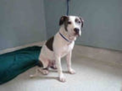 Adopt MURPHY a Gray/Silver/Salt & Pepper - with White American Staffordshire