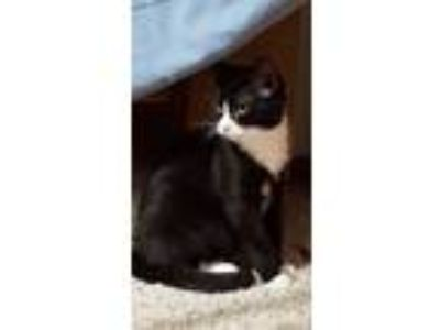 Adopt Braeburn a Domestic Shorthair / Mixed cat in Westmont, IL (18076211)