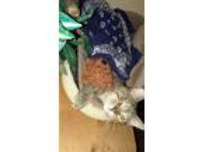 Adopt Roxanna a Gray, Blue or Silver Tabby American Shorthair (short coat) cat