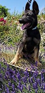 German Shepherd Dog-Dutch Shepherd Dog Mix PUPPY FOR SALE ADN-83854 - Beautiful shepards from top working lines