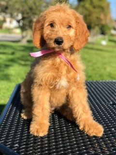 Goldendoodle PUPPY FOR SALE ADN-105319 - Jolly Goldendoodle
