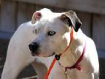 Adopt STACEY a Labrador Retriever, Pit Bull Terrier