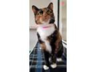 Adopt Ursala a Domestic Short Hair