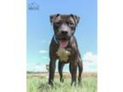 Adopt O'Reilly a Black Pit Bull Terrier / Mixed dog in Troy, IL (23074068)