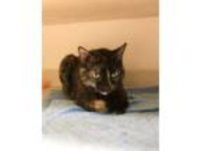 Adopt August a Domestic Short Hair, Tortoiseshell