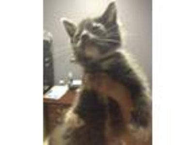 Adopt Starfish a White American Shorthair / Domestic Shorthair / Mixed cat in
