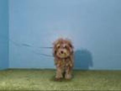 Adopt THEO a Poodle, Mixed Breed
