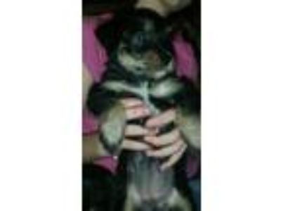 Adopt Sophia a Yorkshire Terrier, Mixed Breed