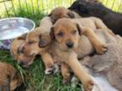 Adopt puppies a Labrador Retriever