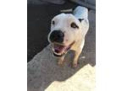 Adopt Blanco SPECIAL SUMMER DISCOUNT a Pit Bull Terrier